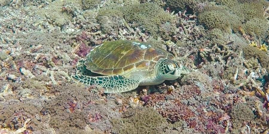 sköldpadda på botten vid shark point.