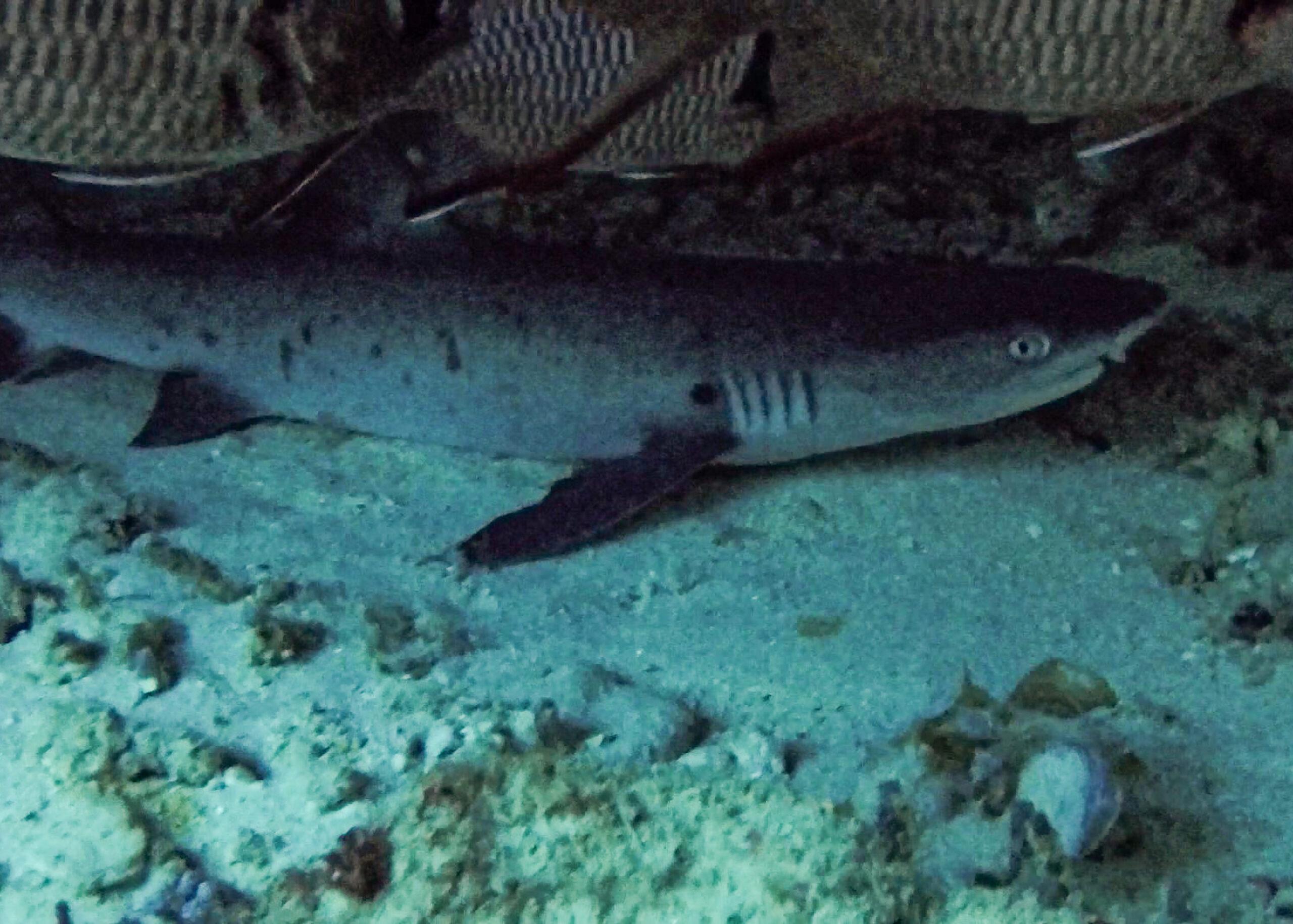 haj ligger på botten i grotta, dykning vid giliöarna.