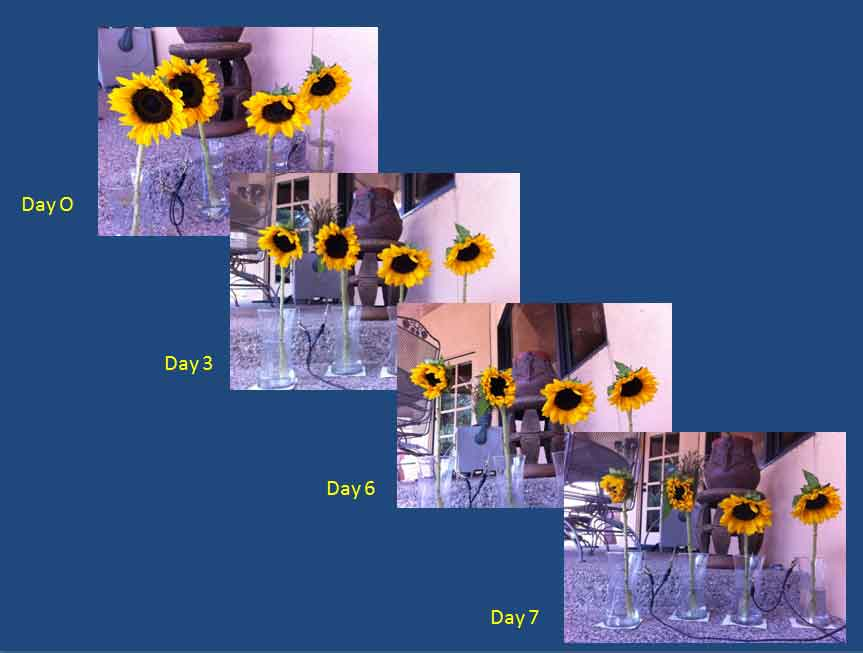 Sunflower Experiment 01