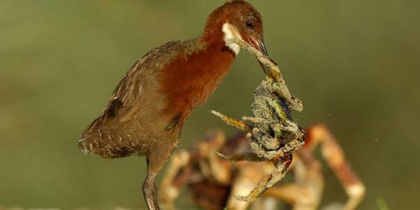Reino Unido: Un ave extinta hace 130 mil años vuelve a la vida 30 mil años después