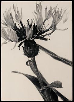 ACENTAURIA MOCHATA, CIRCA 1931 By Aenne Biermann
