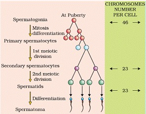 Human Reproduction Class 12 Notes Biology | myCBSEguide