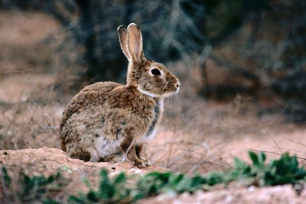 How European Rabbits Took over Australia | National Geographic Society