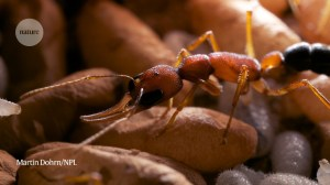 Ants shrink the brain for motherhood – but they can increase it when egg laying is complete: Highlights of the study