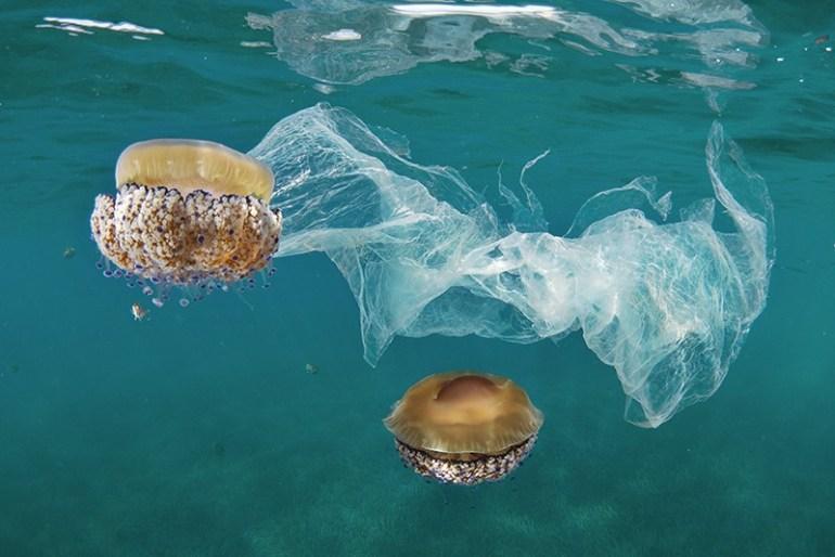 Mediterranean jellyfish and plastic bags