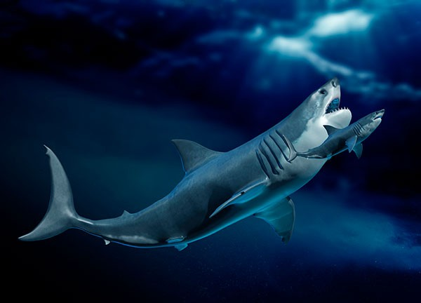 Artist's impression of a megalodon compared with a shark underwater.