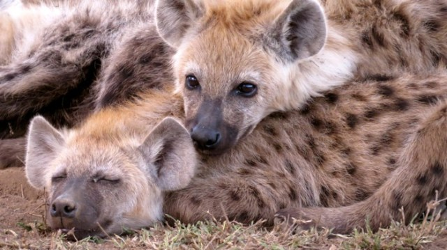 Two Spotted Hyena Cubs