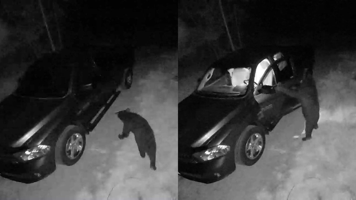 WATCH: Bear Caught on Camera Breaking in to NH Pickup Truck