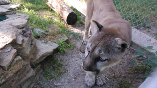 Two Seized Cougars Moved to North Texas