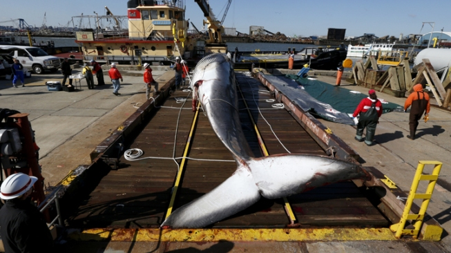 Whale Found Dead on Bow of Ship Examined in New Jersey