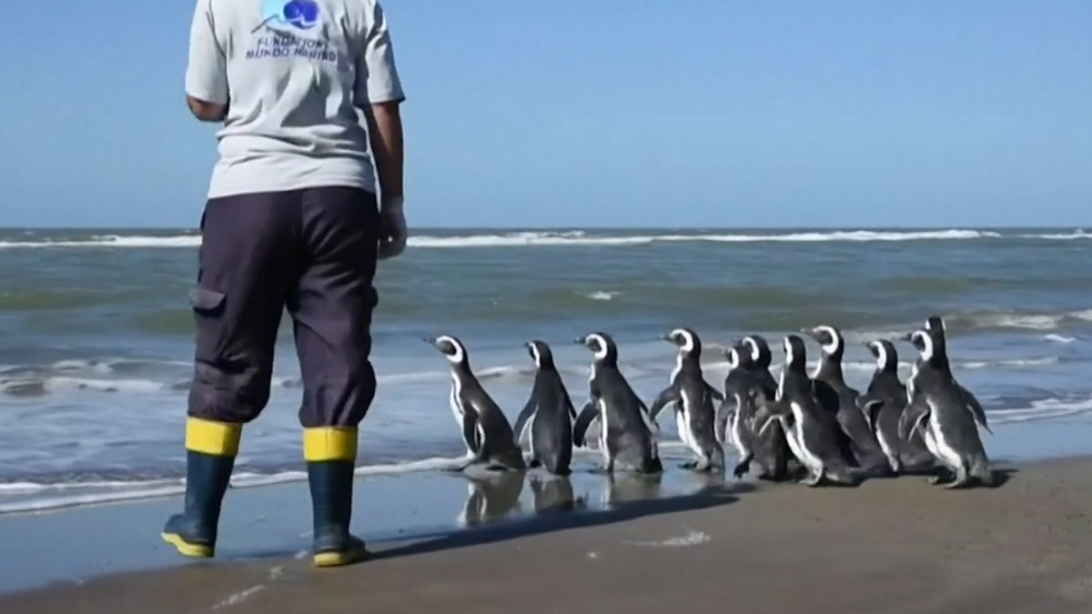 WATCH: 12 Penguins Released Back Into Ocean After Rehabilitation