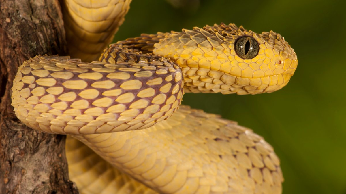 San Diego Zoo Worker Bitten By Venomous Viper Recovering at Home