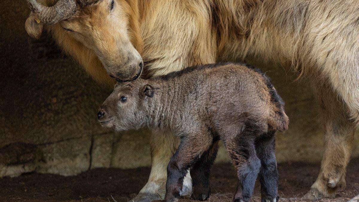 Golden Takin Born at San Diego Zoo, First Golden Takin Subspecies Born in Western Hemisphere