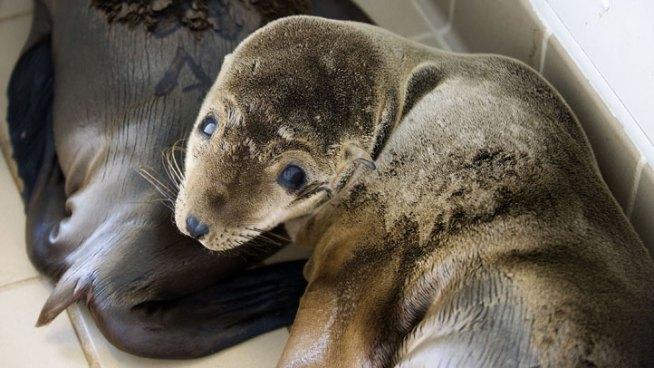 Sea Lions Morir a ritmo inusual: NOAA