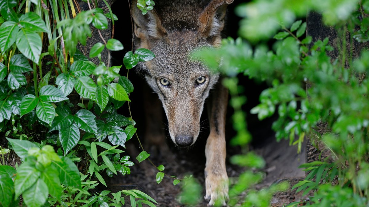Government Offers Plan to Release More Endangered Red Wolves
