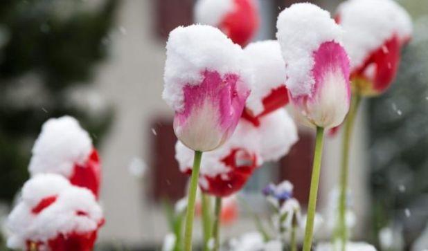 Ende Mai 2013 waren die Blumen zwar schon da, verstecketen sich aber gezwungenermaßen noch unter einer Schneedecke. Hatten die es gut ... (Foto)