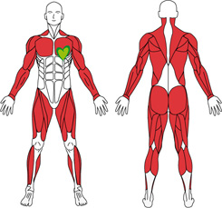 muskelgrupper
