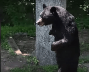 Pedals the walking bear feared dead as hunt continues
