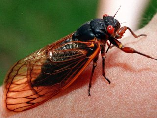 Large 17-year cicada on a person's arm. The cicada is black with red eyes and transparent wings with yellow-brown veins.