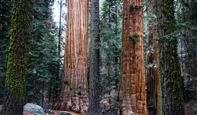 The massive redwoods and sequoias in Sequoia National Park, California