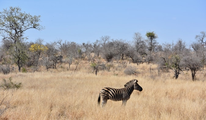 A zebra in South Africa.
