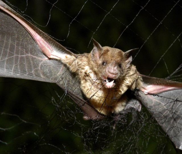 A Vampire Bat Is Caught In A Net In The Northeastern Amazon In Brazil In 2005