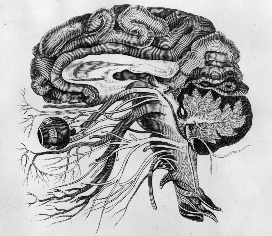 circa 1870:  Anatomical drawing of a man's brain and cerebral nerves.
