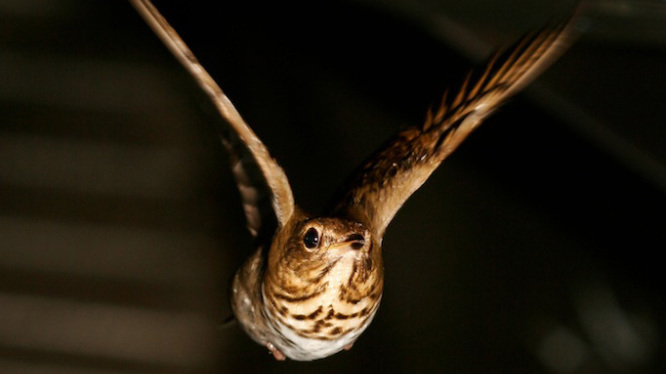 A Swainson's thrush flies a mock-migration in the wind tunnel at the University of Western Ontario.
