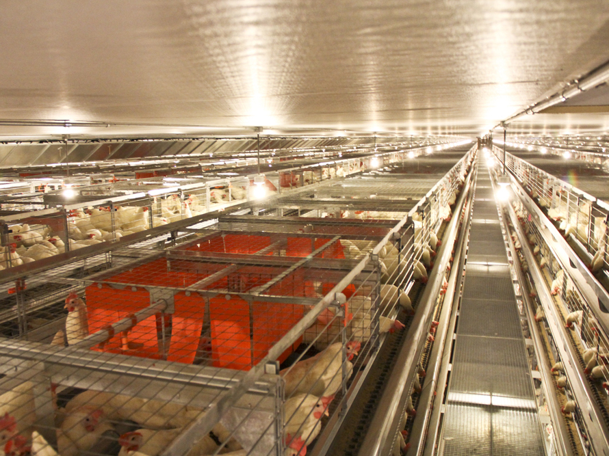 The new cages at JS West feature enclosed spaces, shown in red, called nest boxes. The spaces seem really popular among the hens.