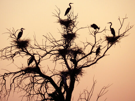 Herons nest in a tree along the Salton Sea. They are just one of the more than 400 species of birds in California's Imperial Valley that could could leave the area if the lake dries up.