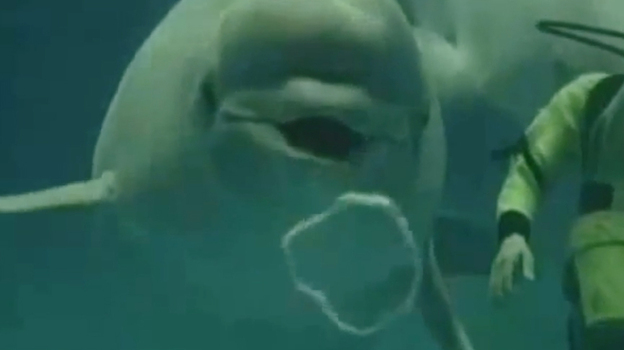 A beluga blowing rings.