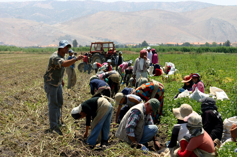 The Lebanese foreman yells at the children in his crew of Syrian refugees. They're picking potatoes in the Beqaa Valley in Lebanon. Whether the worker is a 45-year-old mother or a 7-year-old boy, the pay is the same: about $8 for a 12-hour day.