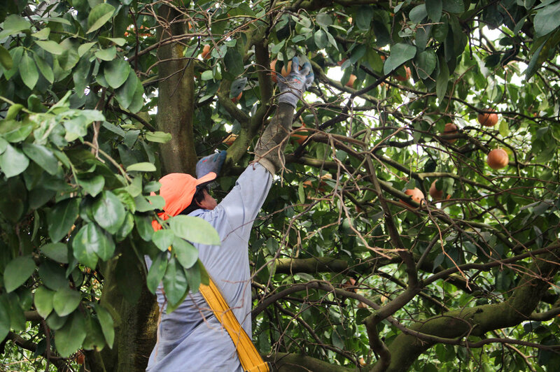 A worker harvests grapefruit near Arcadia, Fla.