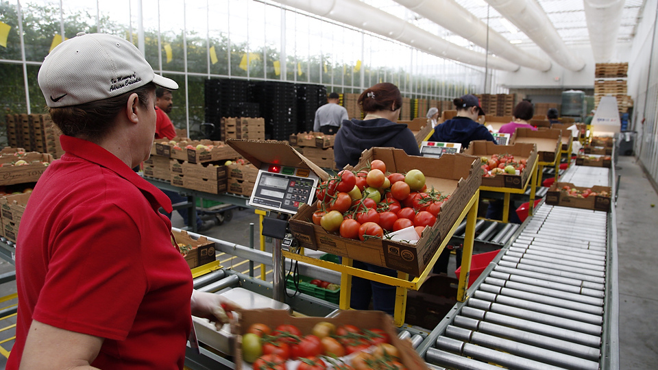 The family-owned Wholesum Harvest had to meet a checklist of more than 300 standards — including many worker protections — to become the first American farm certified by Fair Trade USA. Workers at its Nogales, Ariz., tomato farm recently received a check for more than $30,000 — workers will collectively decide how to spend it.