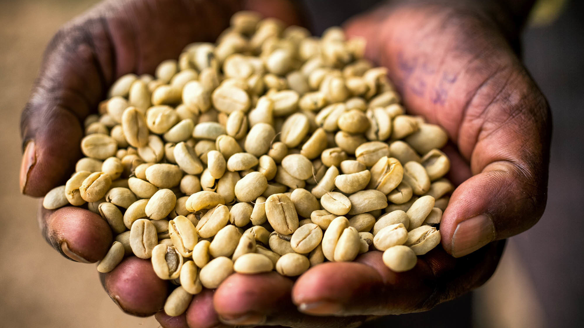 Coffee is thought to have originated in Ethiopia. Coffea arabica, or coffee Arabica, the species that produces most of the world