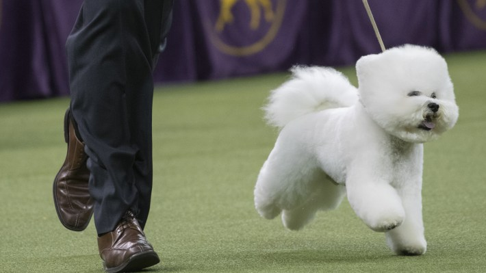 Handler Bill McFadden shows Flynn, a bichon frise, in the best in show competition during the 142nd Westminster Kennel Club Dog Show, yesterday at Madison Square Garden in New York.