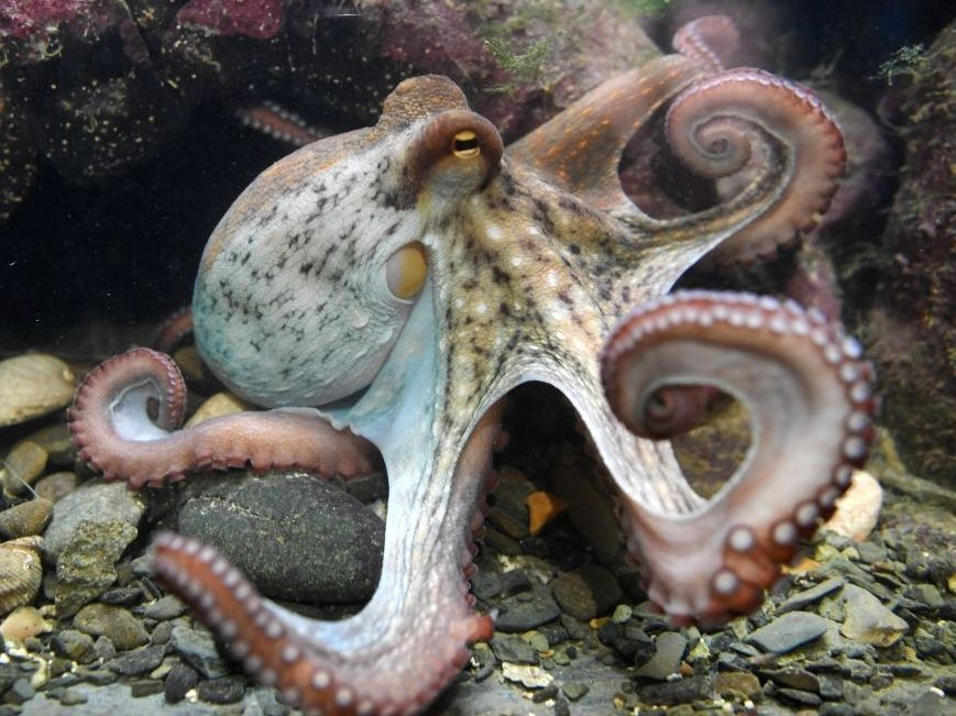 Why Octopuses Could Never Disappoint 13 7 Cosmos And