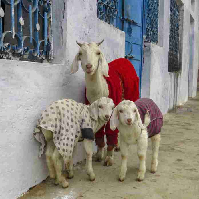 The largest goat wisely wears the color of the season.