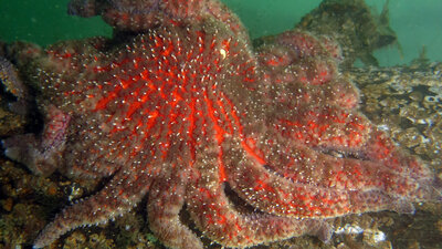 Massive Starfish Die-Off Is Tied To Global Warming