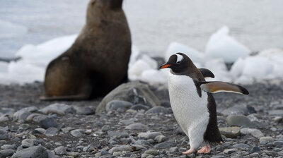 Penguins and Seals Create Invertebrate Hotspots On Antarctica ... With Poop