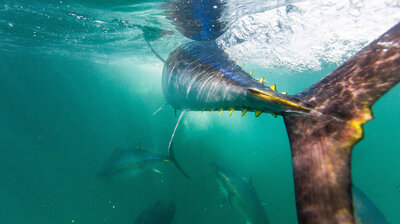 We're Pulling Tuna Out Of The Ocean At Unprecedented — And Unsustainable — Rates