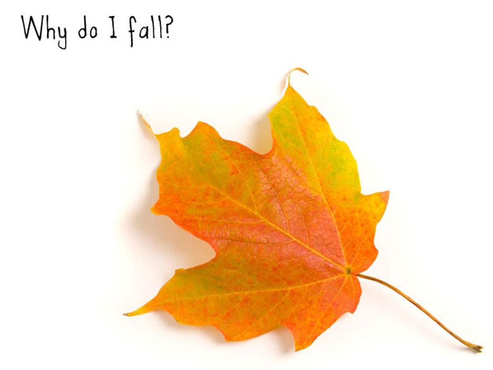 An autumn maple leaf