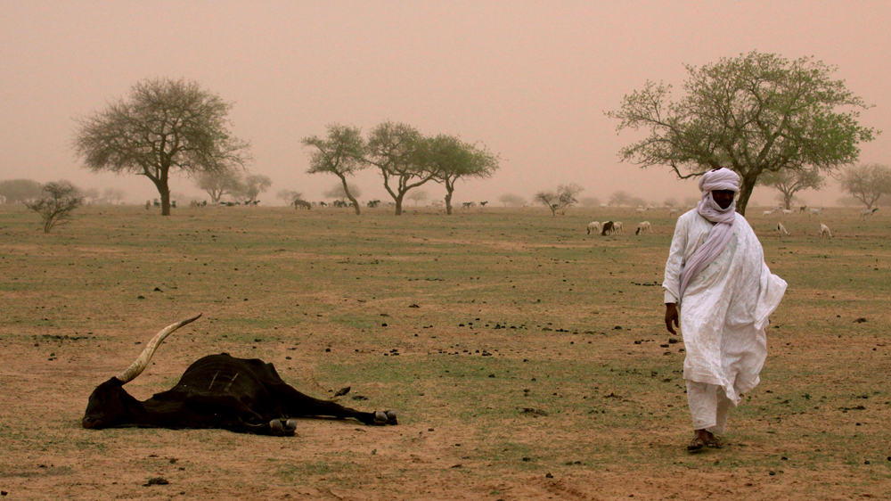 Nomadic tribal chief Ibrahim Mangari walks past the carcass of a cow that he says died of hunger.
