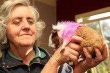 Half of the guinea pig's back was shaved and his white fur dyed pink and blue. Photo / Ashburton Guardian