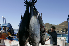The levels of radioactive cesium were 10 times higher than the amount measured in tuna off the California coast in previous years. Photo /AP