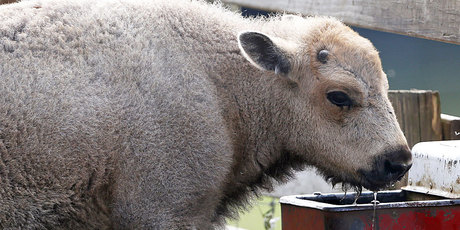 A white bison calf drinks water at the Mohawk Bison farm in Goshen. Photo / AP