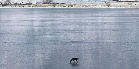 Is it a panther - or just a really big wild cat? This creature was snapped on the frozen surface of Lake Clearwater. Photo / Ashburton Guardian