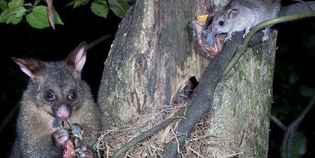 Possum and rat predators. Photo / Nga Manu Images