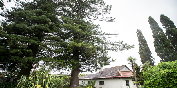 James Gilderdale's Norfolk pine is listed as a notable tree on the district plan. Photo / Michael Craig