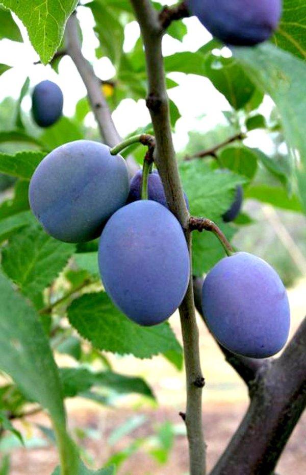 Prunier : planter et tailler – Ooreka